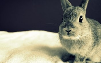 Animal - Rabbit Wallpapers and Backgrounds