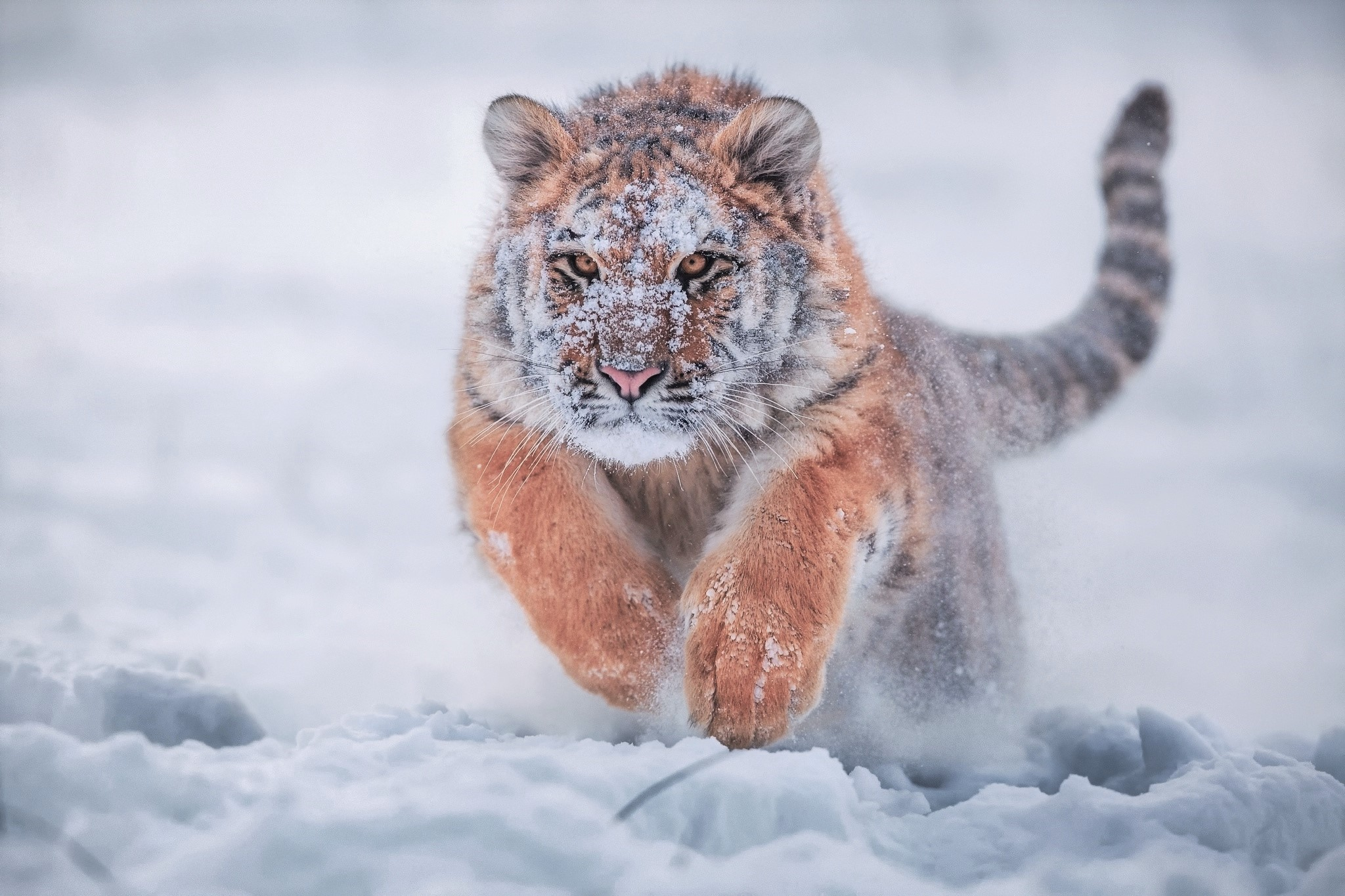 9 siberian tiger hd wallpapers | background images - wallpaper abyss