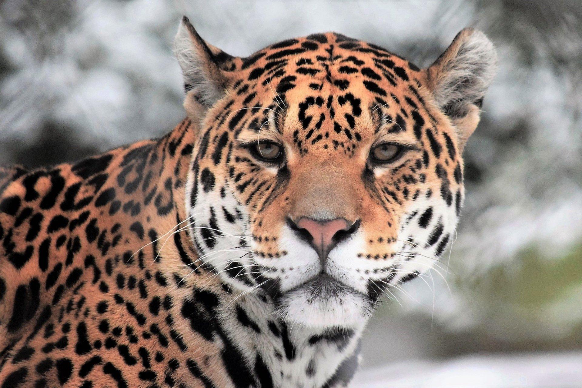 Jaguar HD Wallpaper   Background Image   2048x1365   ID ...