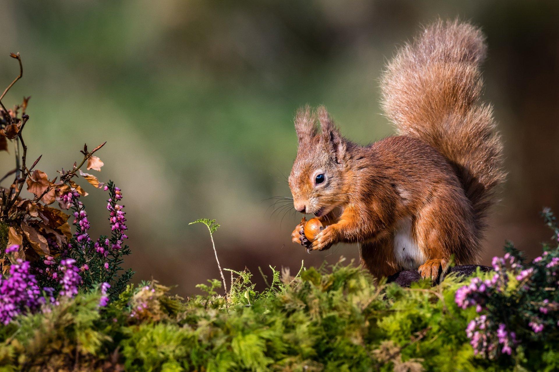 Animal - Squirrel  Rodent Wildlife Wallpaper