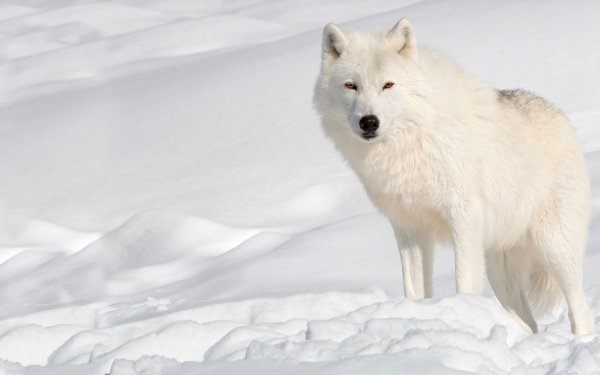 Animal Wolf Wildlife Winter Snow predator White Wolf Arctic Wolf HD Wallpaper   Background Image