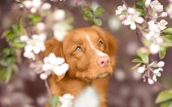 Animal Nova Scotia Duck Tolling Retriever Dogs Dog Pet Blossom Muzzle HD Wallpaper   Background Image