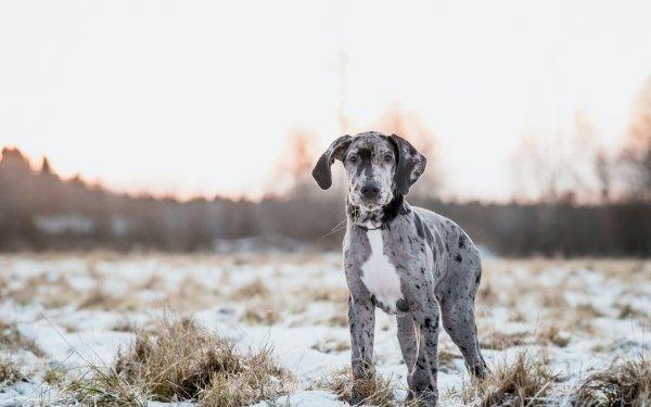 Animal Great Dane Dogs Dog Pet Depth Of Field Puppy HD Wallpaper   Background Image