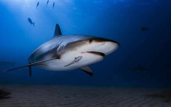 Animal Shark Sharks predator Underwater Sea Life HD Wallpaper   Background Image