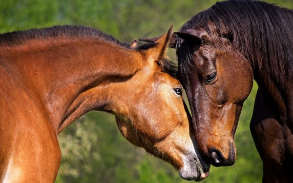Animal Horse HD Wallpaper   Background Image