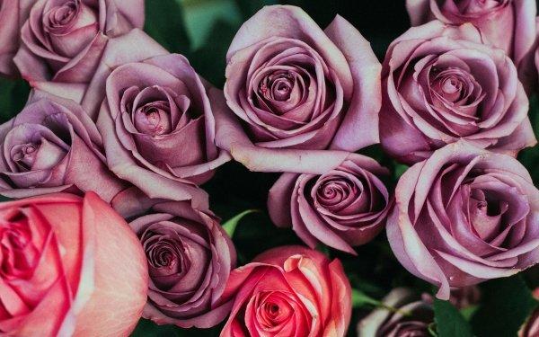 Earth Rose Flowers Flower Purple Rose Pink Rose Pink Flower HD Wallpaper   Background Image
