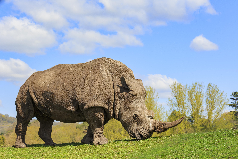 Rhino 5k Retina Ultra HD Wallpaper | Background Image | 5760x3840