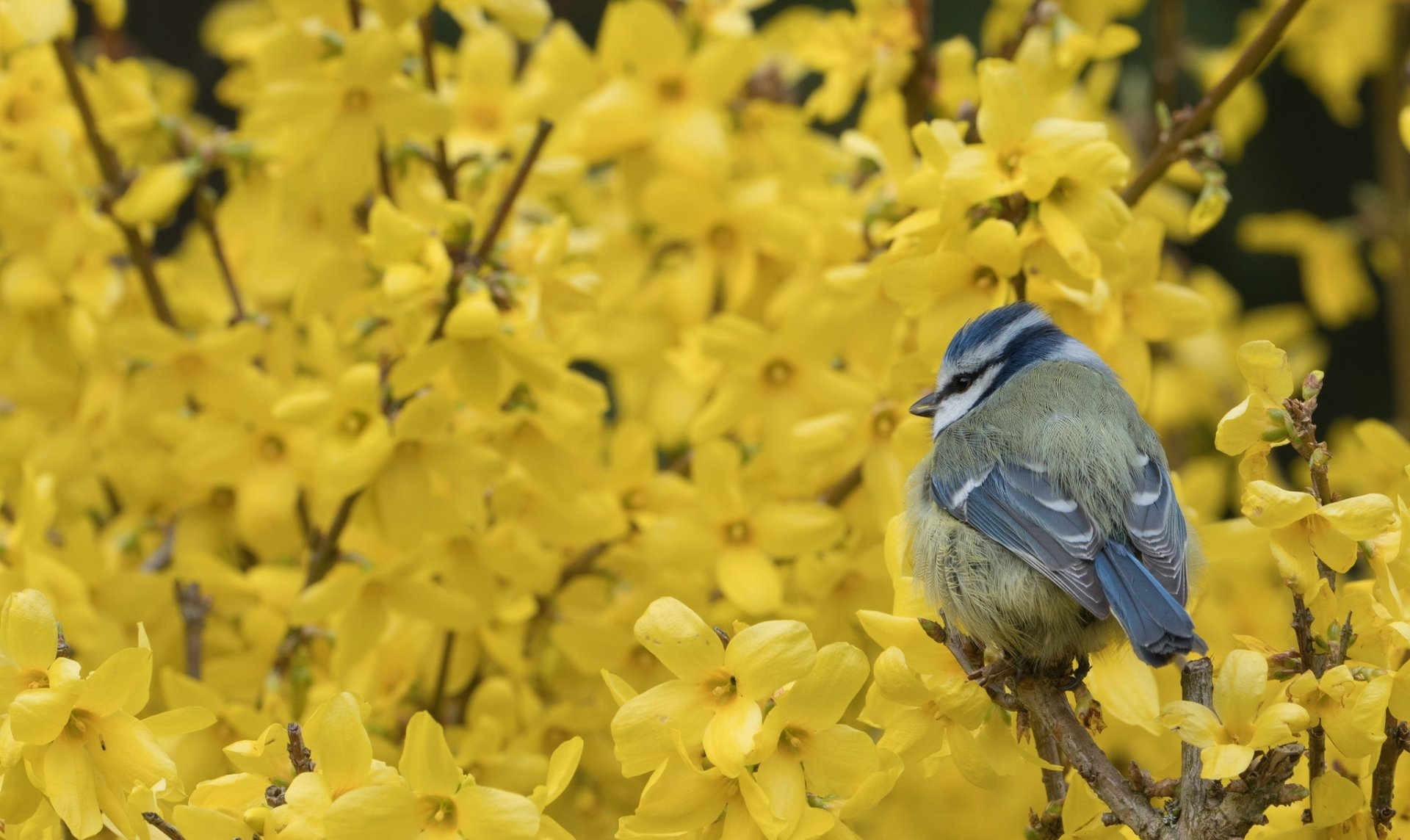 Animal  Titmouse Wildlife Bird Blossom Yellow Flower Wallpaper