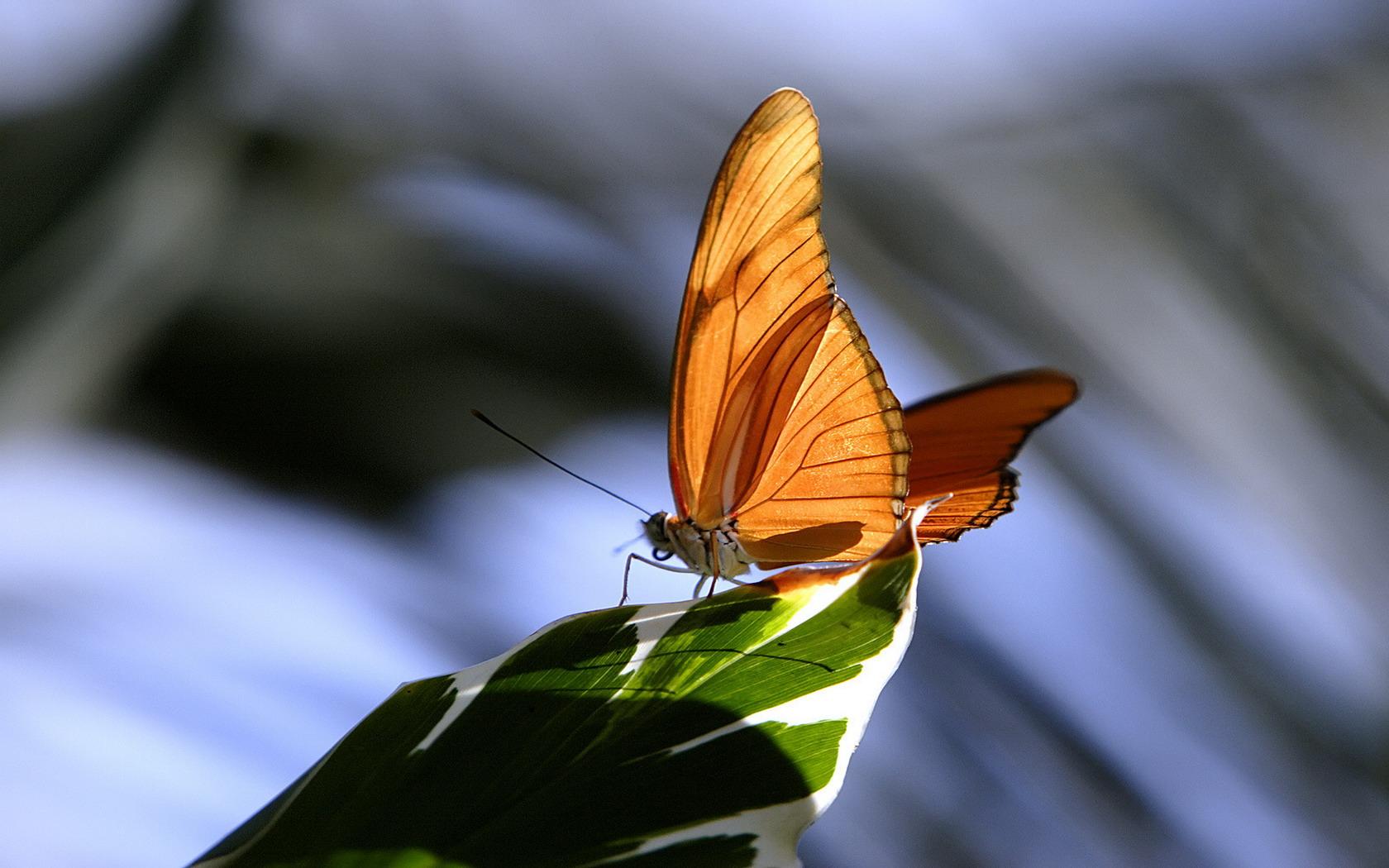 Animalia - Farfalla  Sfondi