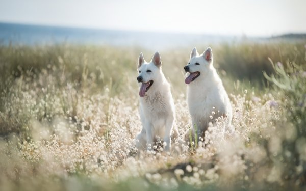 Animal Berger Blanc Suisse Dogs Dog Pet Depth Of Field HD Wallpaper | Background Image