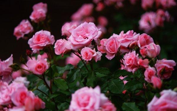 Earth Rose Flowers Nature Flower Pink Flower Rose Bush HD Wallpaper | Background Image