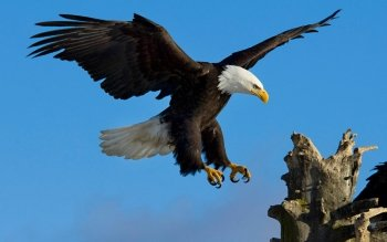 Animal - Eagle Wallpapers and Backgrounds ID : 95853