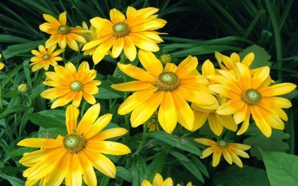 Earth Black-Eyed Susan Flowers Flower Rudbeckia Yellow Flower HD Wallpaper   Background Image