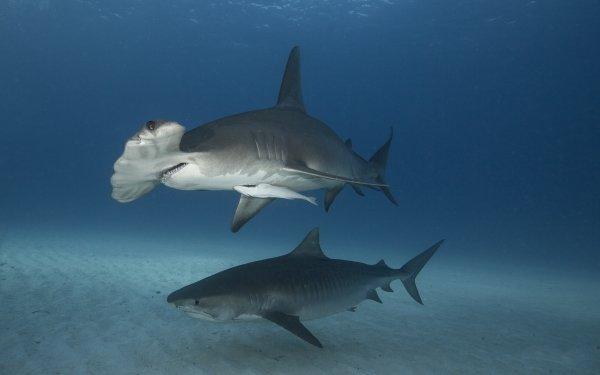Animal Shark Sharks predator Underwater Sea Life Hammerhead Shark HD Wallpaper | Background Image