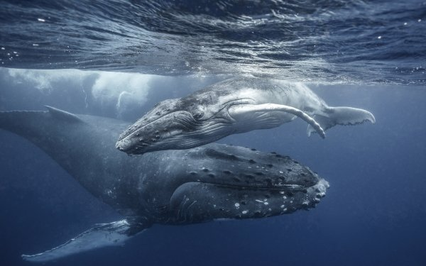 Animal Whale Sea Life Underwater Baby Animal Humpback Whale HD Wallpaper   Background Image