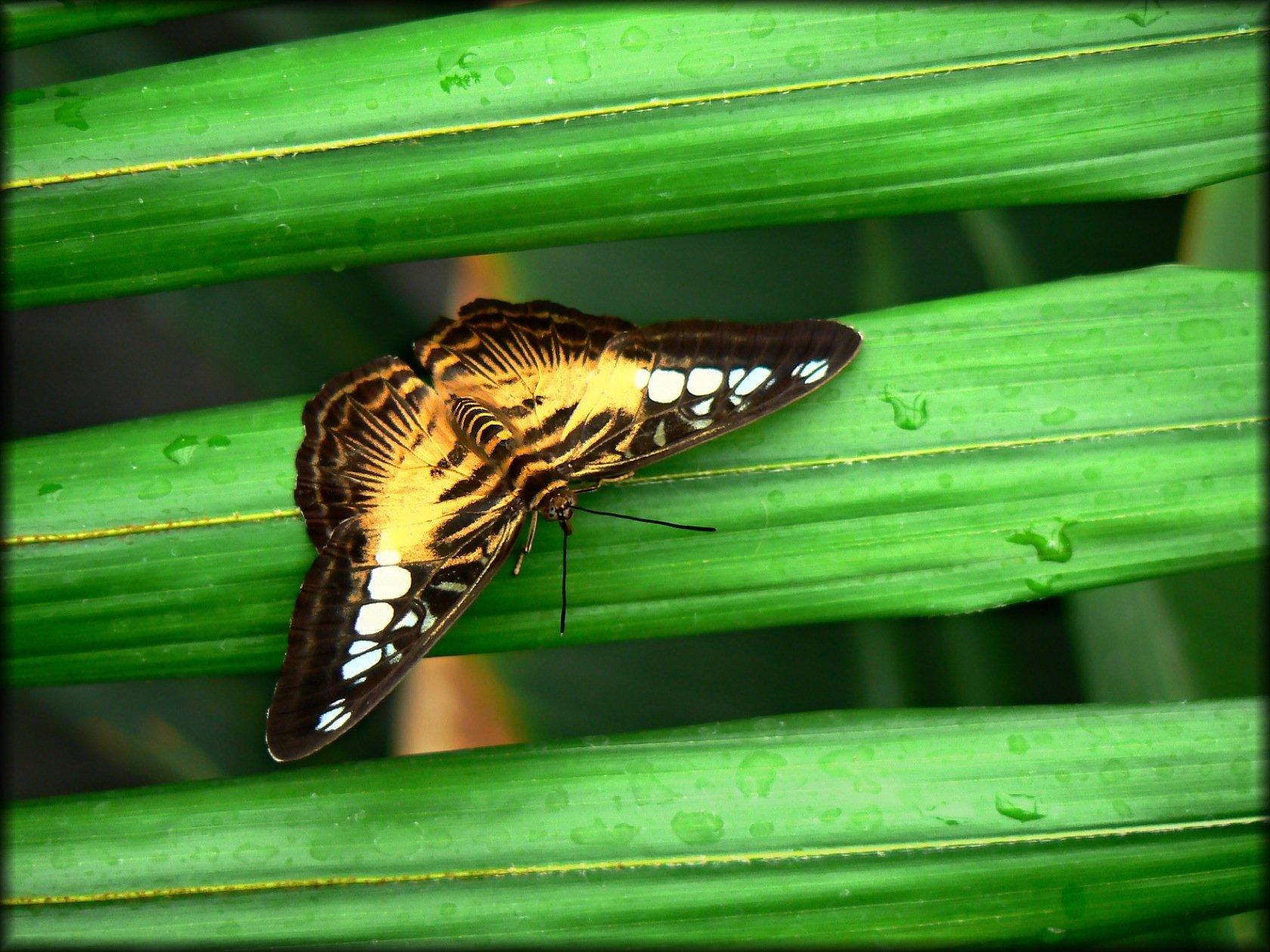 Animales - Mariposa  Fondo de Pantalla