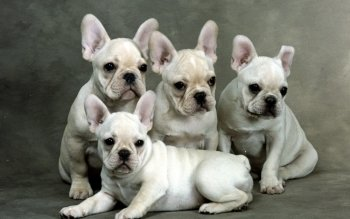 Preview French Bulldog