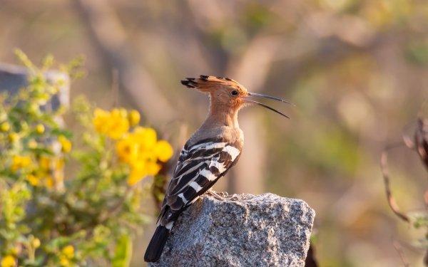 Animal Hoopoe Birds Bird HD Wallpaper   Background Image