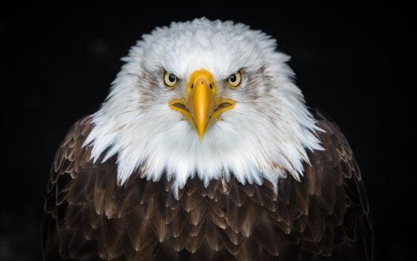 Animal Bald Eagle Birds Eagles Bird Eagle Stare HD Wallpaper   Background Image
